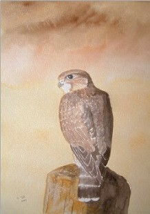 watercolour merlin falcon