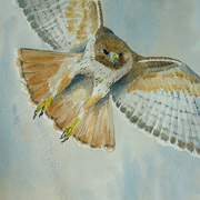 Redtail, watercolour painting