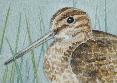 watercolour painting, Snipe