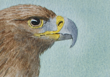 watercolour painting, Golden Eagle